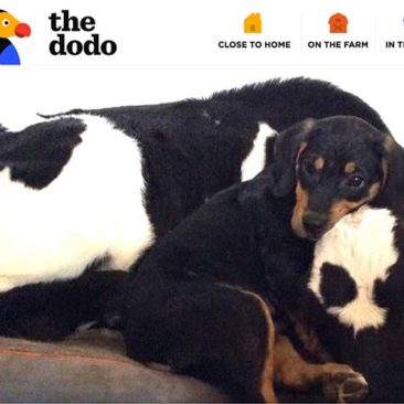 The Dodo: Rescue Puppy Can't Get Enough Of His Favorite Cow