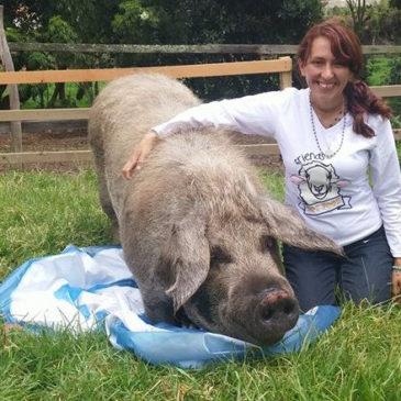 New 700lb rescued pig