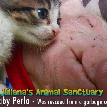 Perla the piglet gets a 2nd Chance
