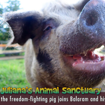 """Pola the """"freedom fighting"""" pig is saved from hell"""