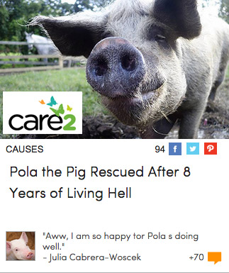 Pola the Pig Rescued After 8 Years of Living Hell