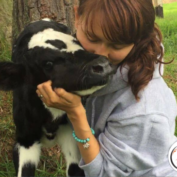 New Veal Calf Named Bernie Needs Help