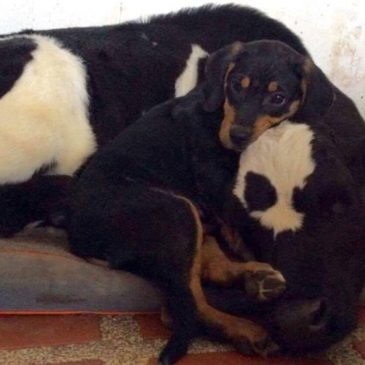 Rescued Puppy Can't Get Enough of his Favourite Calf