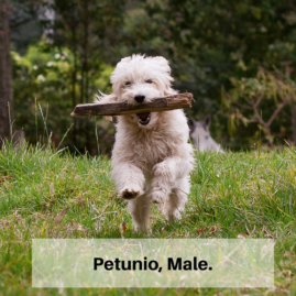 Petunio, Male