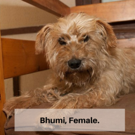 Bhumi the old dog, female