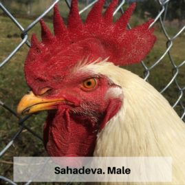 Sahadeva, Male, 7 Months