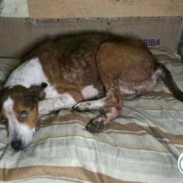 sweet starving street dog raped and beaten!