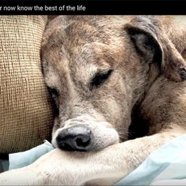 Old dog Hit by a car paralyzed
