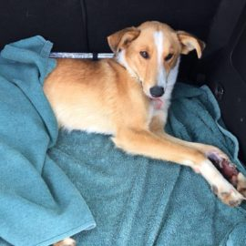 Dog was found abandoned tied to a post and then a car run over him and broke his legs