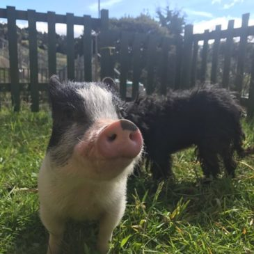 Loki, the Rescued Mini Pig