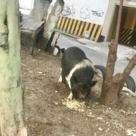 Pig urgent rescue