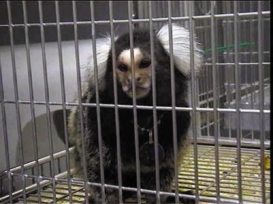 animal_testing_monkey