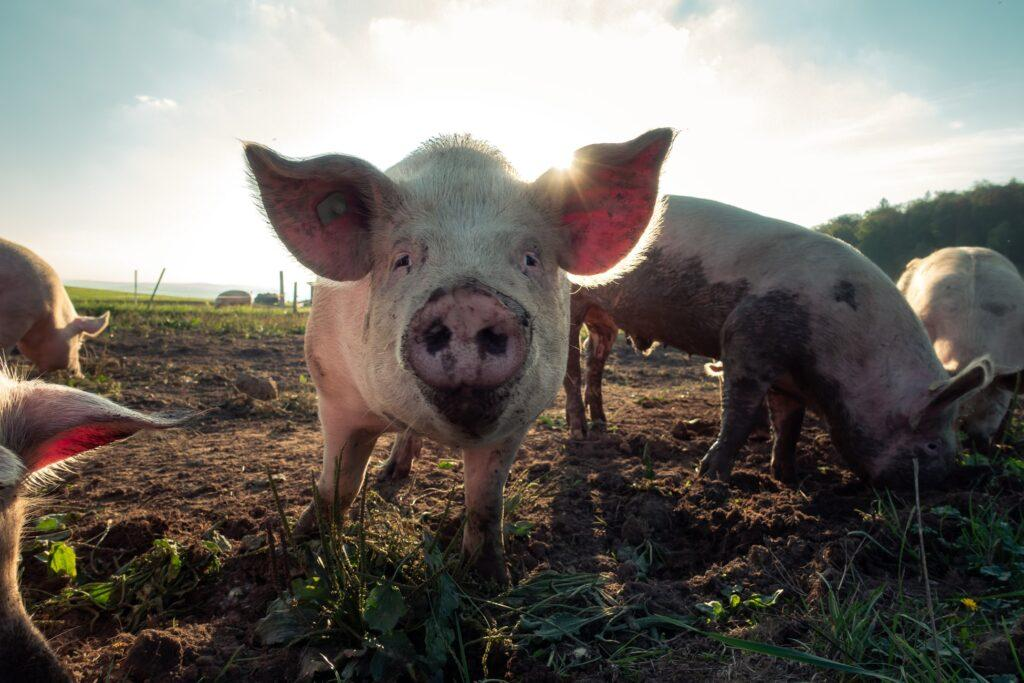 pigs-freedom