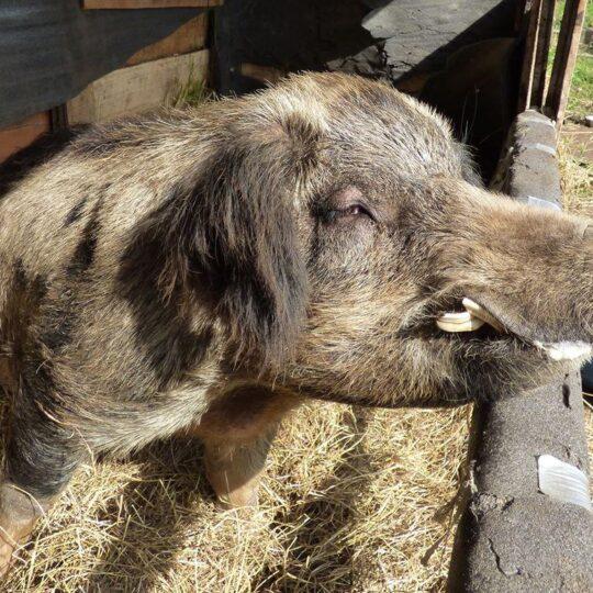 pig farm sanctuary