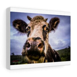 Canvas Gallery Gita the rescued cow