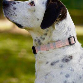 Pink checkered dog collar