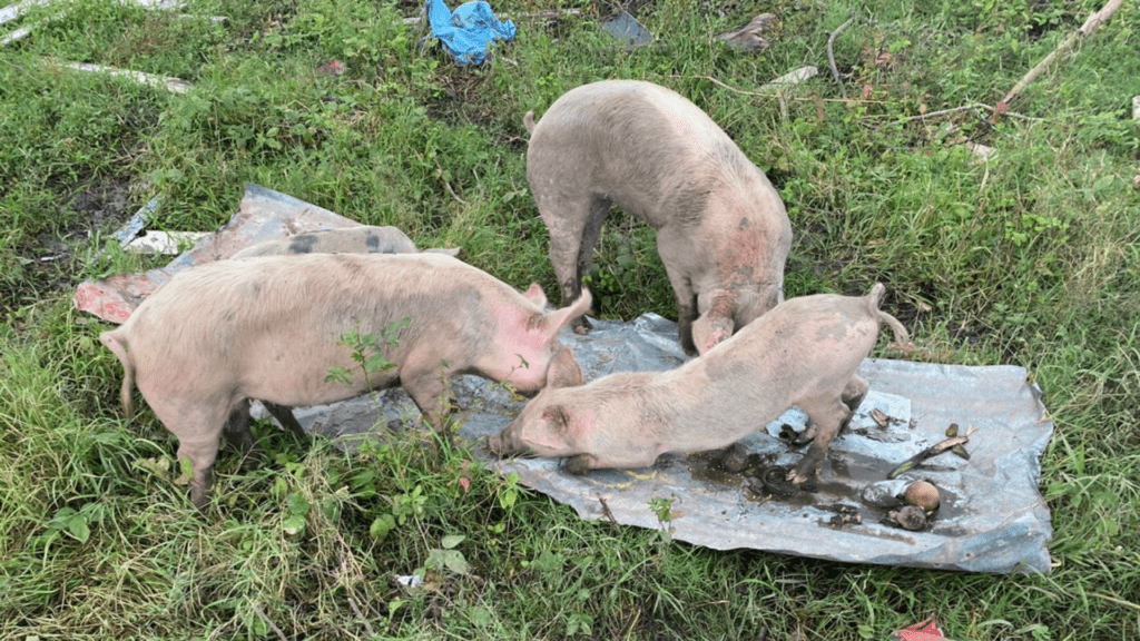 save these pigs